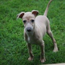イタリアングレーハウンドの子犬(ID:1268011024)の1枚目の写真/更新日:2017-10-19