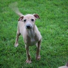 イタリアングレーハウンドの子犬(ID:1268011024)の2枚目の写真/更新日:2017-10-19