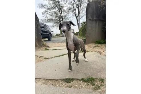 イタリアングレーハウンドの子犬(ID:1268011026)の1枚目の写真/更新日:2021-05-05