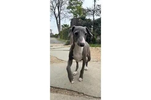 イタリアングレーハウンドの子犬(ID:1268011026)の2枚目の写真/更新日:2021-05-05