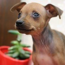 ミニチュアピンシャーの子犬(ID:1268011028)の2枚目の写真/更新日:2019-06-18