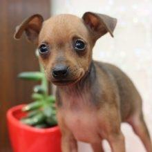 ミニチュアピンシャーの子犬(ID:1268011028)の3枚目の写真/更新日:2019-06-18