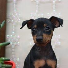 ミニチュアピンシャーの子犬(ID:1268011029)の1枚目の写真/更新日:2018-01-03