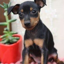 ミニチュアピンシャーの子犬(ID:1268011029)の2枚目の写真/更新日:2018-01-03
