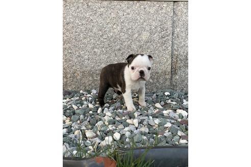 ボストンテリアの子犬(ID:1268011030)の2枚目の写真/更新日:2018-01-22