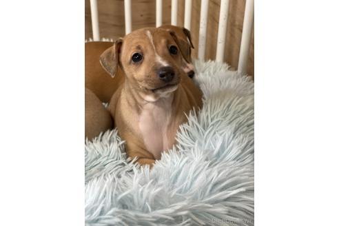 イタリアングレーハウンドの子犬(ID:1268011035)の1枚目の写真/更新日:2020-06-16