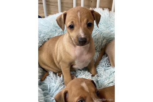 イタリアングレーハウンドの子犬(ID:1268011035)の3枚目の写真/更新日:2020-06-16