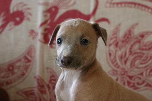 イタリアングレーハウンドの子犬(ID:1268011037)の2枚目の写真/更新日:2020-06-16