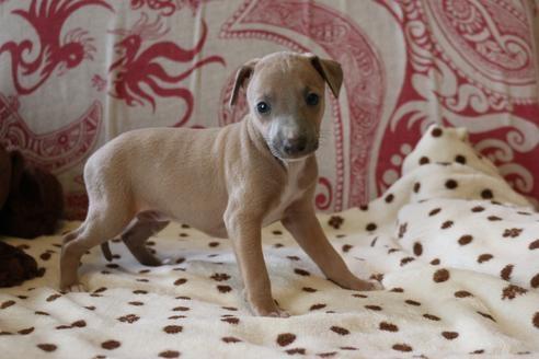 イタリアングレーハウンドの子犬(ID:1268011037)の3枚目の写真/更新日:2020-06-16