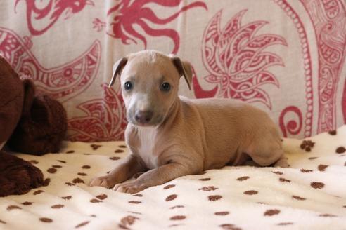 イタリアングレーハウンドの子犬(ID:1268011037)の4枚目の写真/更新日:2021-05-05