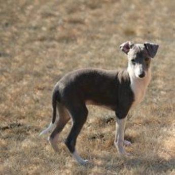 イタリアングレーハウンドの子犬(ID:1268011042)の1枚目の写真/更新日:2018-03-23