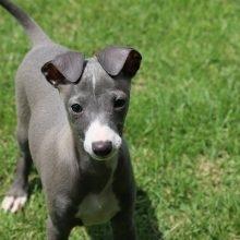 イタリアングレーハウンドの子犬(ID:1268011044)の1枚目の写真/更新日:2018-05-28