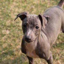 イタリアングレーハウンドの子犬(ID:1268011046)の1枚目の写真/更新日:2018-04-13