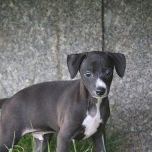 イタリアングレーハウンドの子犬(ID:1268011048)の1枚目の写真/更新日:2018-07-27