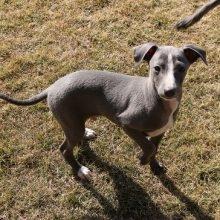 イタリアングレーハウンドの子犬(ID:1268011051)の1枚目の写真/更新日:2018-10-18