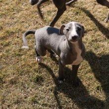 イタリアングレーハウンドの子犬(ID:1268011051)の2枚目の写真/更新日:2018-10-18
