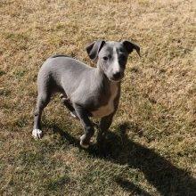 イタリアングレーハウンドの子犬(ID:1268011051)の3枚目の写真/更新日:2018-10-18