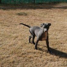 イタリアングレーハウンドの子犬(ID:1268011052)の2枚目の写真/更新日:2018-10-18