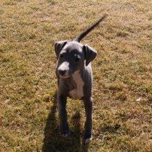 イタリアングレーハウンドの子犬(ID:1268011052)の3枚目の写真/更新日:2018-10-18