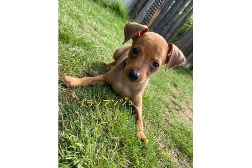 ミニチュアピンシャーの子犬(ID:1268011055)の1枚目の写真/更新日:2019-01-14
