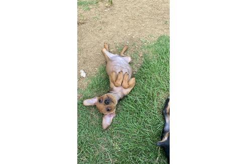 ミニチュアピンシャーの子犬(ID:1268011055)の2枚目の写真/更新日:2019-11-05