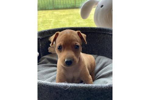 ミニチュアピンシャーの子犬(ID:1268011055)の4枚目の写真/更新日:2021-07-21