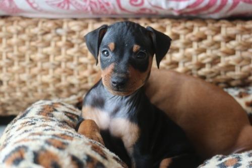 ミニチュアピンシャーの子犬(ID:1268011056)の1枚目の写真/更新日:2019-01-14