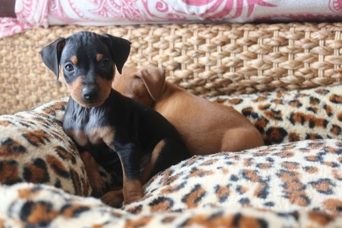 ミニチュアピンシャーの子犬(ID:1268011056)の2枚目の写真/更新日:2019-11-05