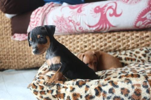 ミニチュアピンシャーの子犬(ID:1268011056)の3枚目の写真/更新日:2019-11-05