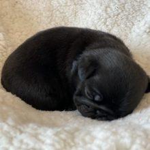 パグの子犬(ID:1268011060)の3枚目の写真/更新日:2020-04-06