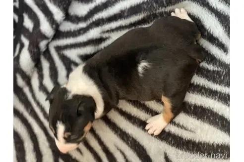 ミニチュアブルテリアの子犬(ID:1268011062)の3枚目の写真/更新日:2019-06-14