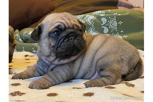 パグの子犬(ID:1268011063)の1枚目の写真/更新日:2020-12-29