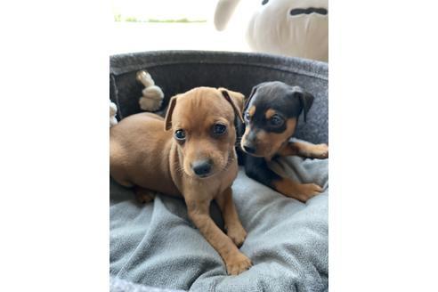 ミニチュアピンシャーの子犬(ID:1268011070)の2枚目の写真/更新日:2019-11-05
