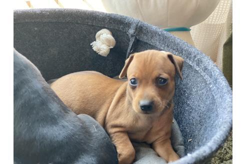 ミニチュアピンシャーの子犬(ID:1268011070)の3枚目の写真/更新日:2021-07-21