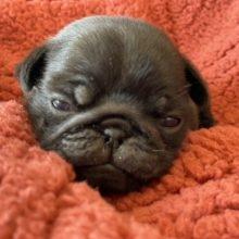 パグの子犬(ID:1268011071)の1枚目の写真/更新日:2020-04-06