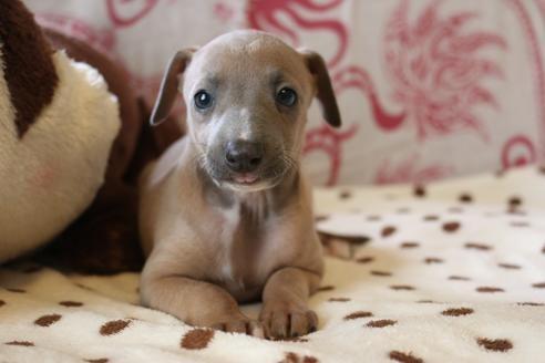 イタリアングレーハウンドの子犬(ID:1268011074)の1枚目の写真/更新日:2021-05-05
