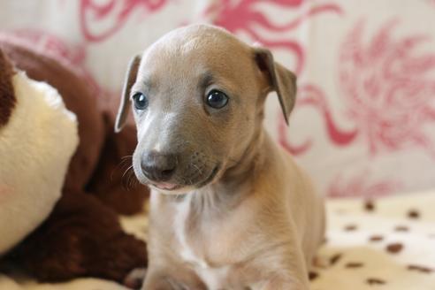 イタリアングレーハウンドの子犬(ID:1268011074)の3枚目の写真/更新日:2021-05-05