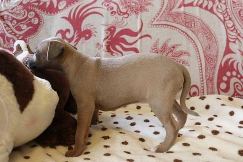 イタリアングレーハウンドの子犬(ID:1268011074)の4枚目の写真/更新日:2021-05-05