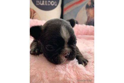 フレンチブルドッグの子犬(ID:1268011081)の1枚目の写真/更新日:2021-08-03