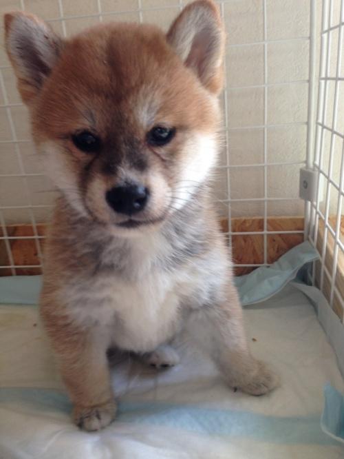 柴犬の子犬(ID:1268211001)の1枚目の写真/更新日:2017-03-03