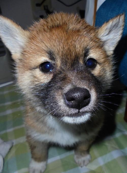 柴犬の子犬(ID:1268211002)の1枚目の写真/更新日:2017-03-03