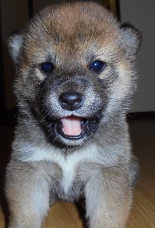 柴犬の子犬(ID:1268211004)の1枚目の写真/更新日:2017-03-06