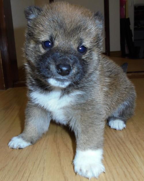 柴犬の子犬(ID:1268211005)の1枚目の写真/更新日:2017-03-06