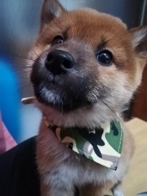 柴犬の子犬(ID:1268211021)の1枚目の写真/更新日:2019-02-19