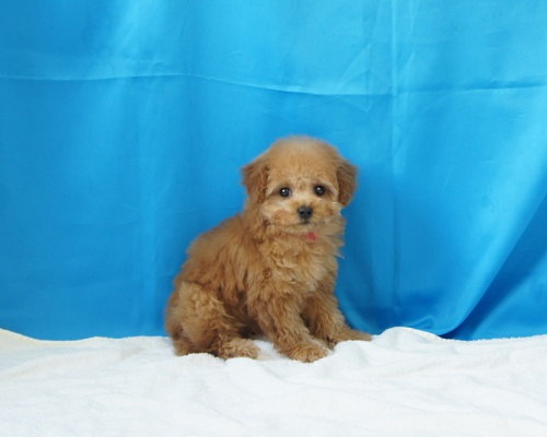 トイプードルの子犬(ID:1268311008)の1枚目の写真/更新日:2017-04-15