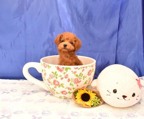 トイプードルの子犬(ID:1268311044)の2枚目の写真/更新日:2018-08-10