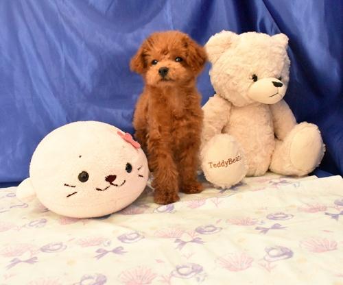 トイプードルの子犬(ID:1268311044)の3枚目の写真/更新日:2018-08-10