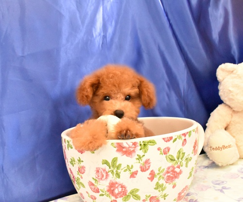 トイプードルの子犬(ID:1268311045)の1枚目の写真/更新日:2018-09-05