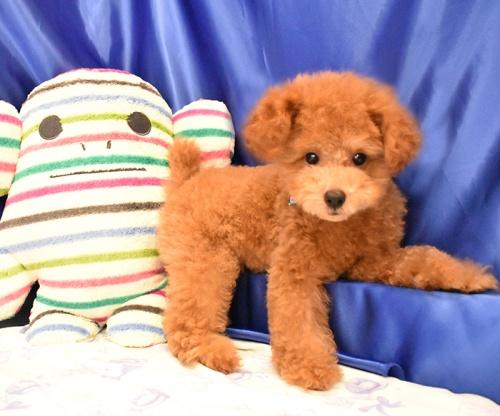 トイプードルの子犬(ID:1268311045)の2枚目の写真/更新日:2018-09-05