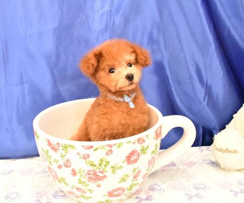 トイプードルの子犬(ID:1268311045)の3枚目の写真/更新日:2018-09-05